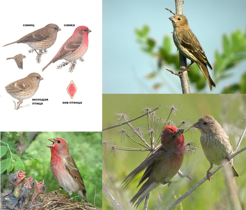 Фотографии перелетной птицы Чечевица Обыкновенная