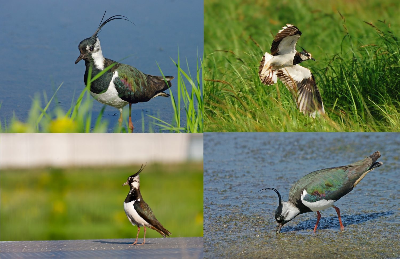 Чибис. Коллаж из фотографий перелётной птицы
