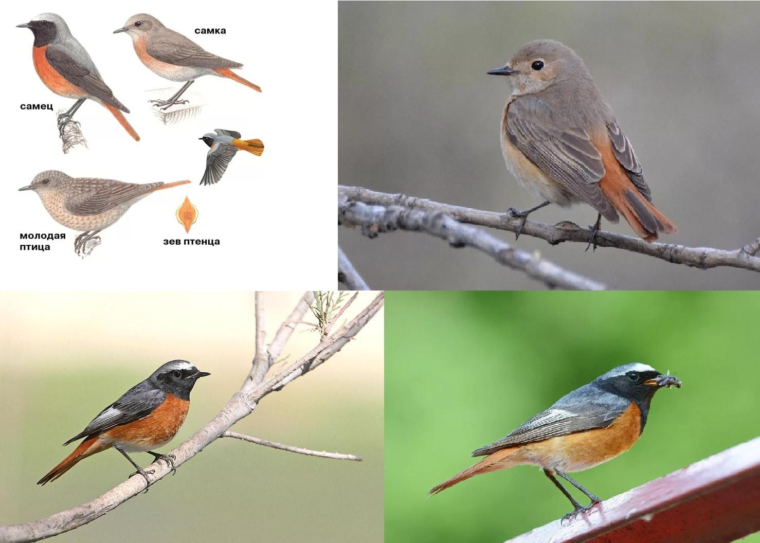 Фотографии перелетной птицы Горихвостка Обыкновенная
