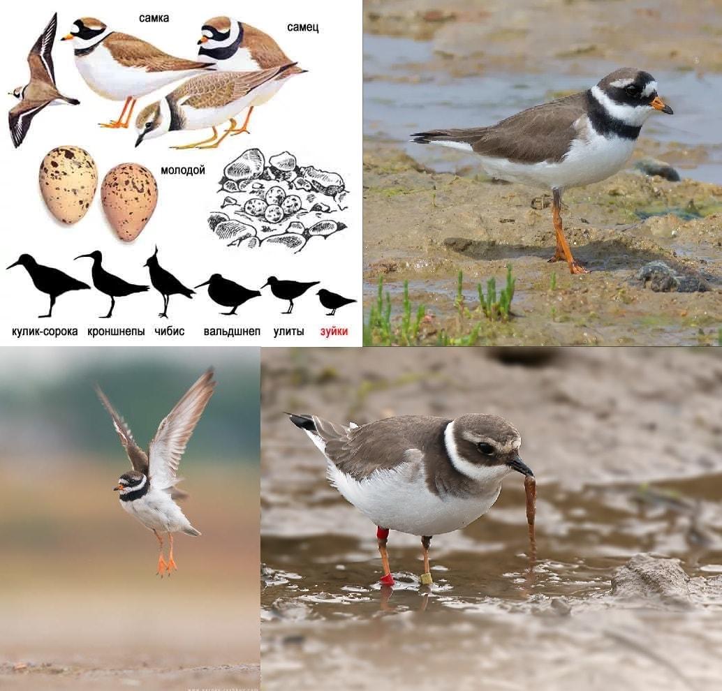 Фотографии перелетной птицы Галстучник