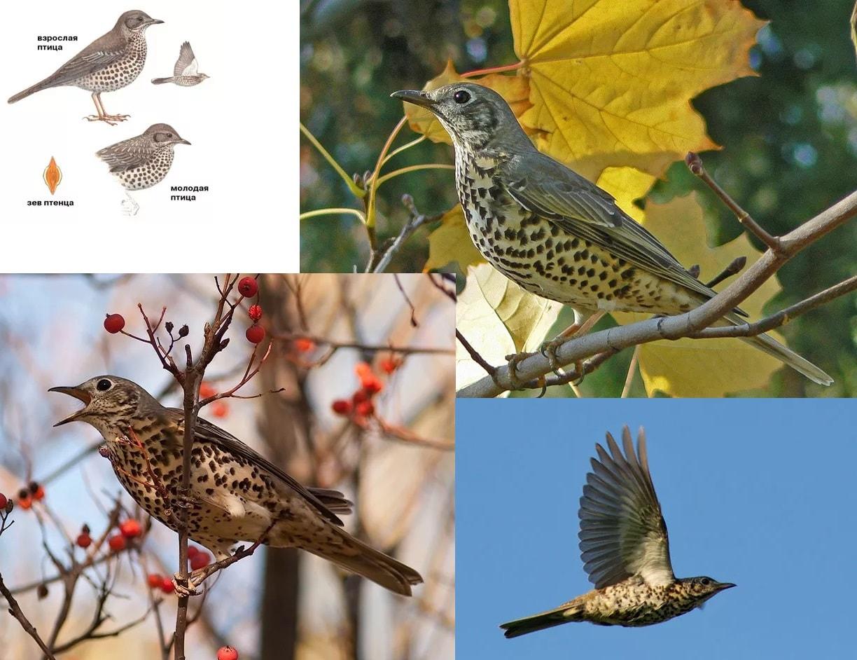 Фотографии перелетной птицы Деряба
