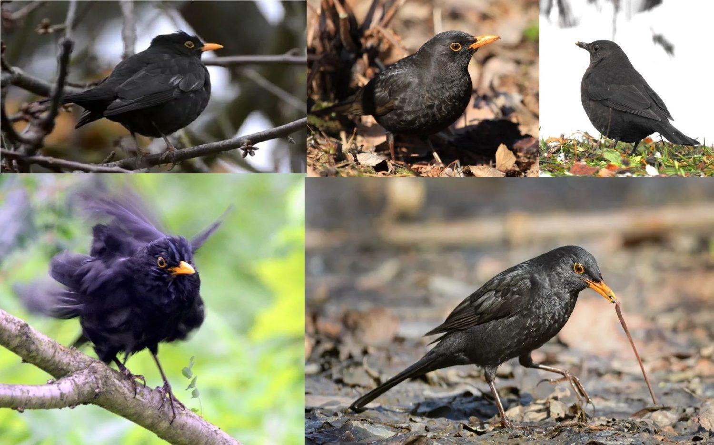 Фотографии перелетной птицы Черный Дрозд