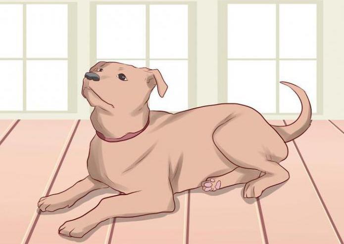 """Как научить собаку команде """"Лежать"""". Пошаговое руководство, ошибки при обучении"""