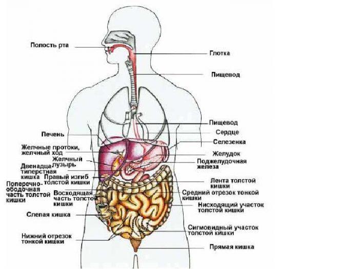 Расположение органов малого таза человека
