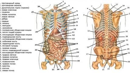 Органы человека: расположение в картинках. Анатомия частей тела