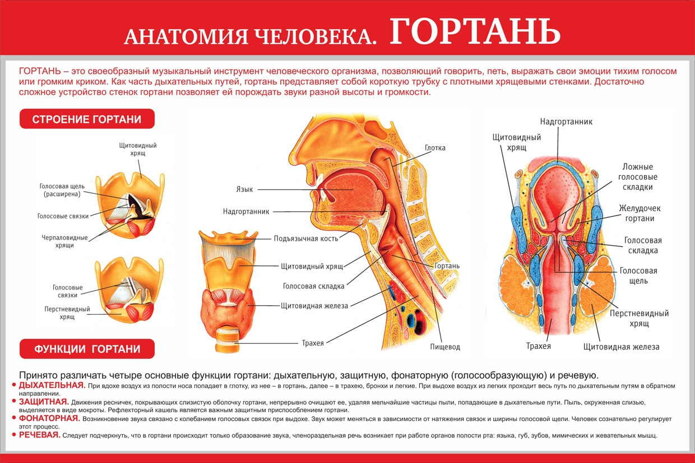 Расположение органов гортани картинка