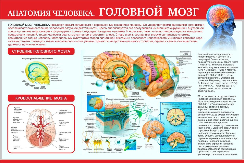 Расположение областей в головном мозге человека картинка