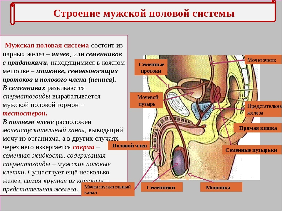 Репродуктивные органы мужчины расположение в картинке