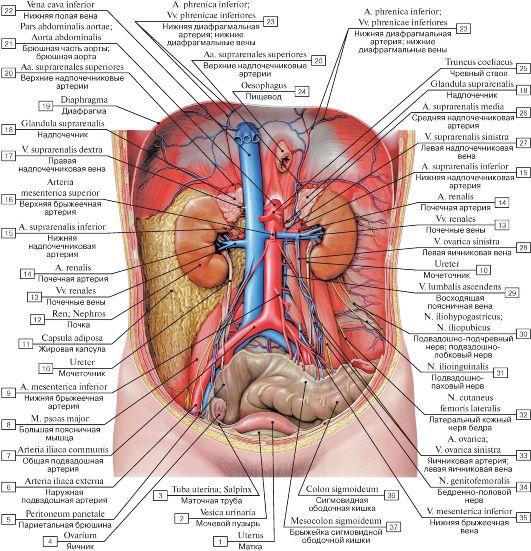 Подробное расположение органов человека в животе