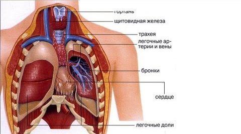 Органы человека легкие и сердце