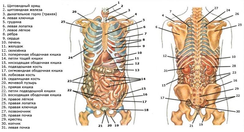 Внутренние органы человека расположение в картинках с надписями вид сзади, анимации картинка итальянский