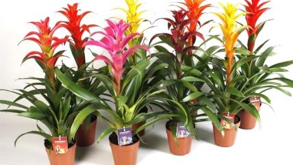 Растение «Гусмания». Как ухаживать за экзотическим цветком