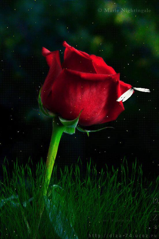 Гифка алые розы