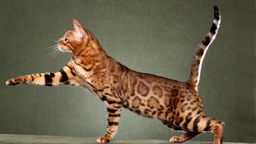 Самая дорогая кошка в мире: секреты породы саванна