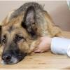 Симптомы отравления у собак. Первая помощь при отравлении