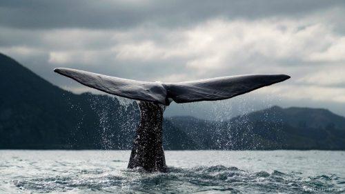 Синий кит хвостовой плавник. Красивое фото