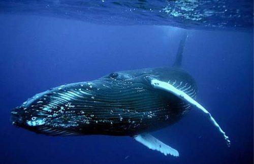 Синий кит проплывает рядом с камерой
