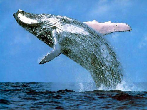 Синий кит взлетает