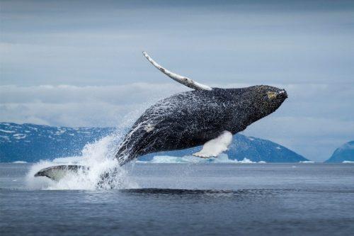 Синий кит фото выпрыгивания из воды