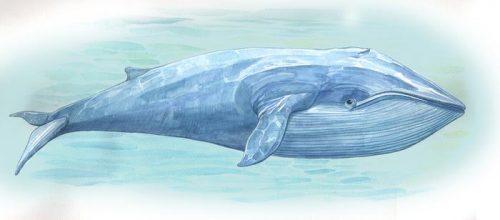 Синий кит в воде