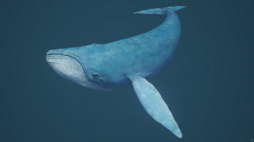 Синий кит. Картинки, фотографии, изображения самого большого животного
