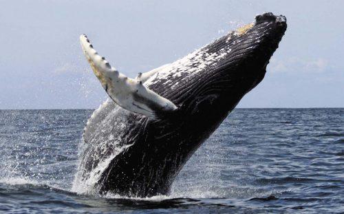 Синий кит крупным планом