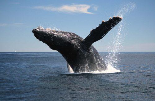Синий кит над поверхностью воды