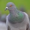 Сколько хромосом у голубя? Принцип изменения набора хромосом