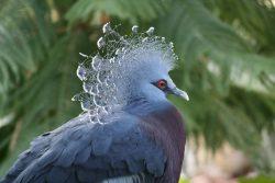 Вееровидный голубь