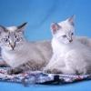 Сколько хромосом у кота домашнего и других представителей кошачьих