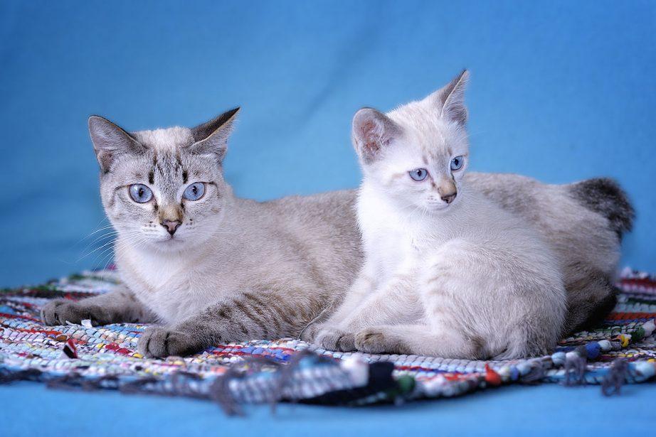 Сколько хромосом у кота домашнего и других кошачьих