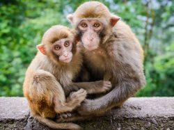 Коричневые обезьяны