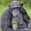 Сколько хромосом у обезьяны: шимпанзе, макаки, гиббона, мартышки
