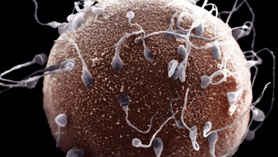 Сколько хромосом в сперматозоиде и яйцеклетке человека