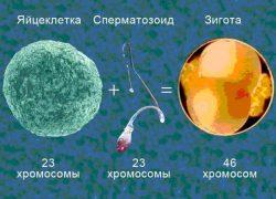 Количество хромосом в сперматозоиде и яйцеклетке