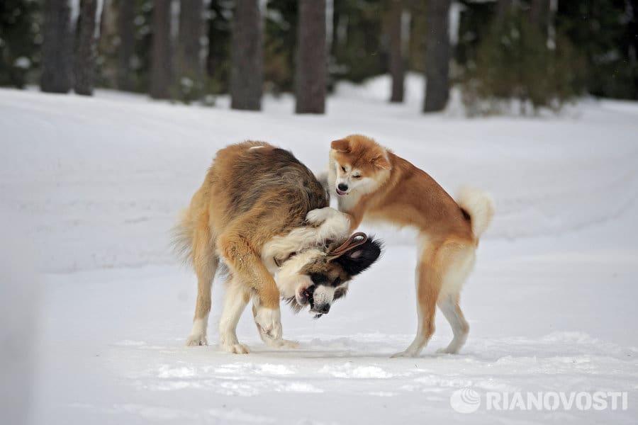Собаки Путина играют друг с другом