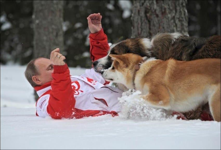 Путина повалили две собаки на снег