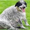 Сколько весит самая толстая собака в мире? История собаки, реабилитация