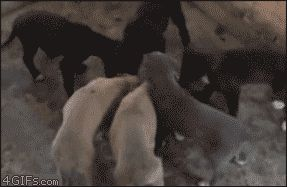 псы едят из миски Gif прикол