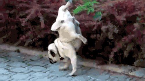 Писаный пируэт собачки