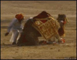 верблюд дал сдачи Gif