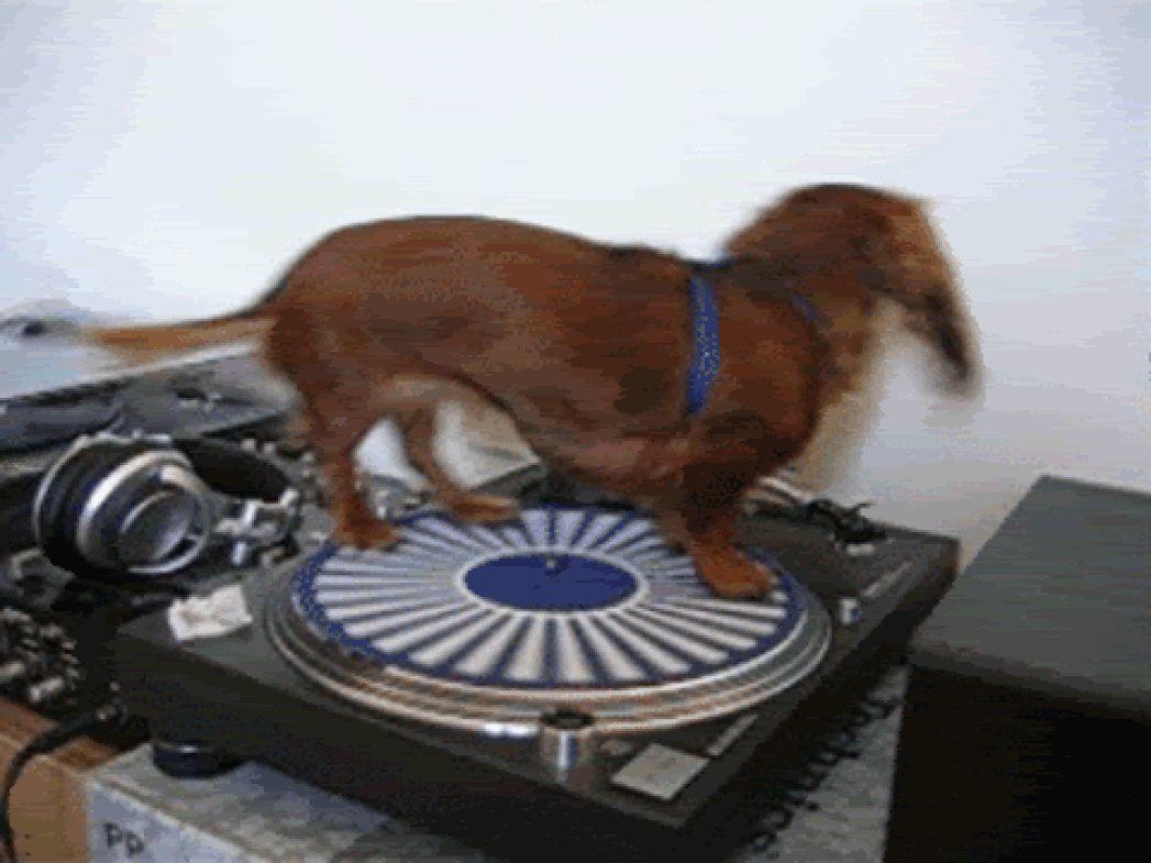 пёс катается на граммофоне смотреть Gif