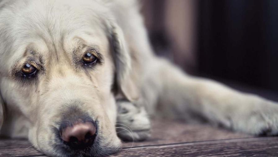У собаки гноится глаз, что делать? Советы ветеринаров
