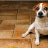У собаки моча с кровью? Ветеринар рассказывает, что делать
