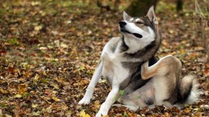 У собаки перхоть: что делать, причины, лечение и профилактика