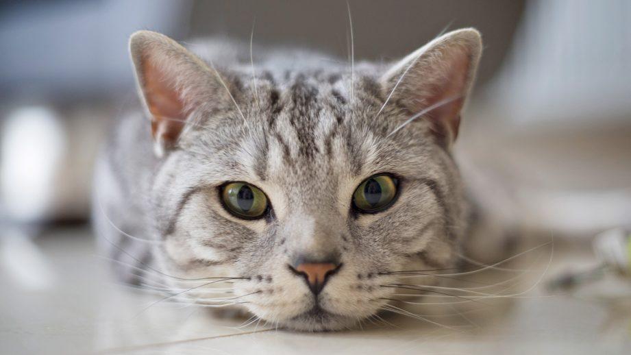 в каком возрасте стерилизуют кошек