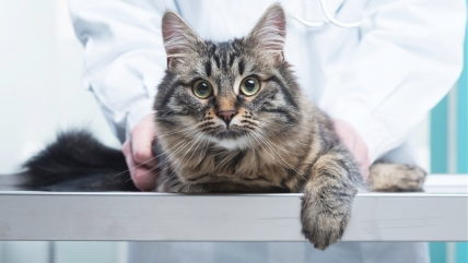 В каком возрасте стерилизуют кошек? Все об операции и уходе
