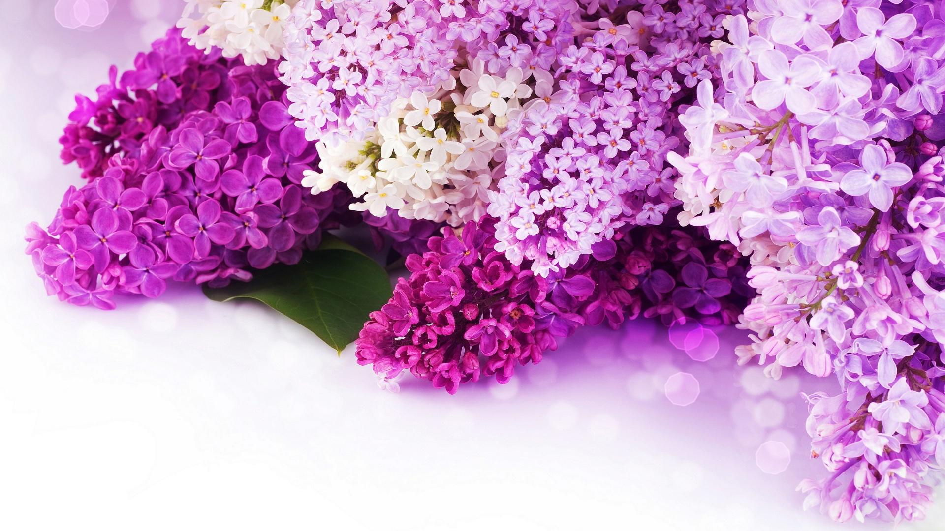 природа цветы сирень без смс